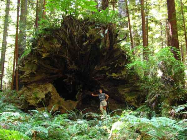 When a giant redwood falls over, is it dead?